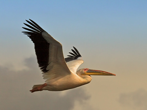 White Pelican (Pelecanus onocrotalus) | by Nature Photographer