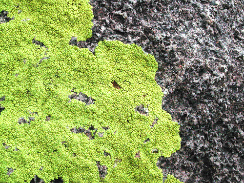 Green-yellow lichen | by Calc-tufa