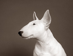 Puppy Bull Terrier! (3) | by Piotr Organa