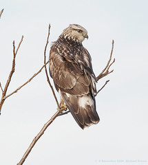 Rough-legged Hawk by Michael Brown | by mbrown IN