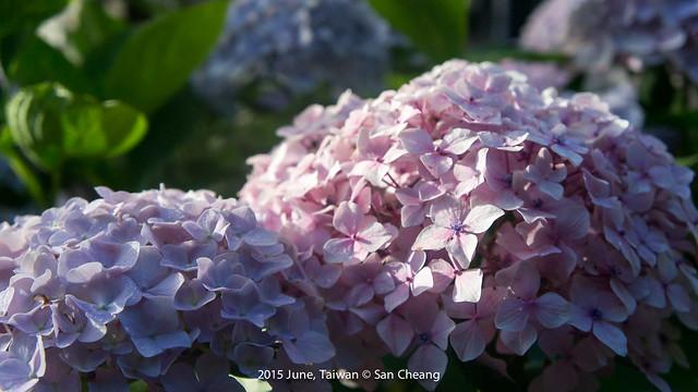 初賞繡球花