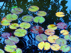 Water Lillies | by own-your-portraits