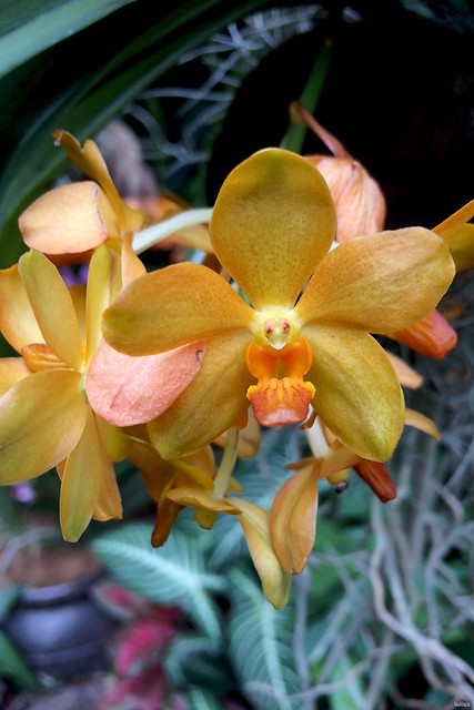 lavlilacs Singapore Botanic Gardens orange yellow orchids