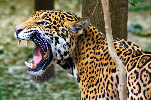 angry jaguar | by MorningThief581