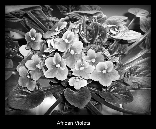 African Violet In Black And White | by KaCey97078