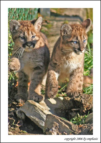 puma cubs | by emphasis