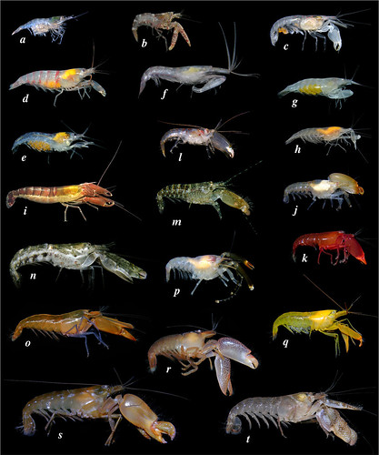 Snapping shrimp diversity (colour plate from a recent paper) | by Arthur Anker