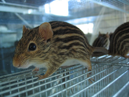 Zebra mouse | by roxeteer