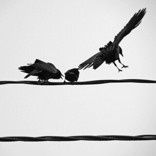 crow fight | by dogfaceboy