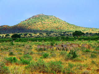 Hill and zebras | by Tambako the Jaguar