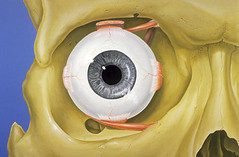 Human eye anatomy anterior view | by Patrick J. Lynch