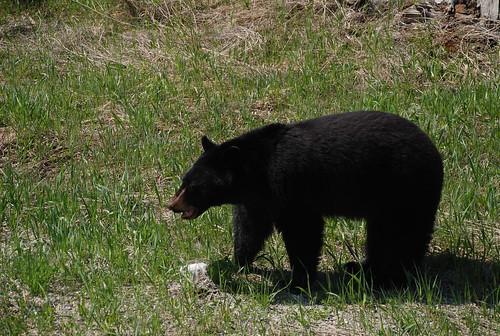 American black bear - Wikipedia