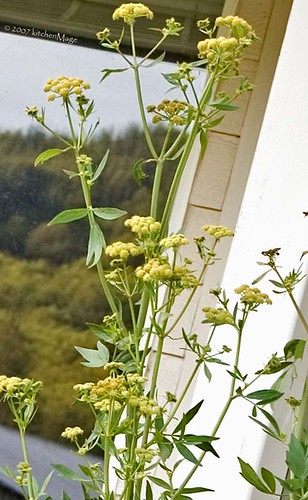 lovage flowers | by kitchenmage