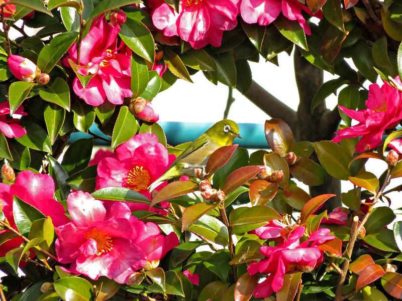 Japanese white-eye among the flowers of camellia