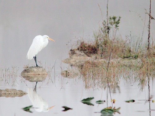 Great Egret 01-20161213