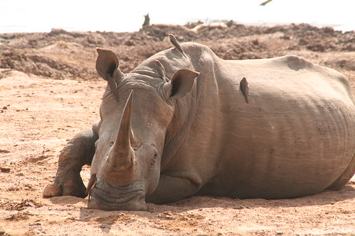 Rhino with bird in his ear