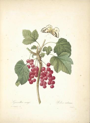 Red currant. Ribes rubrum. Choix des plus belles fleurs: et des plus beaux fruits par P.J. Redouté, t. 3, (1833)