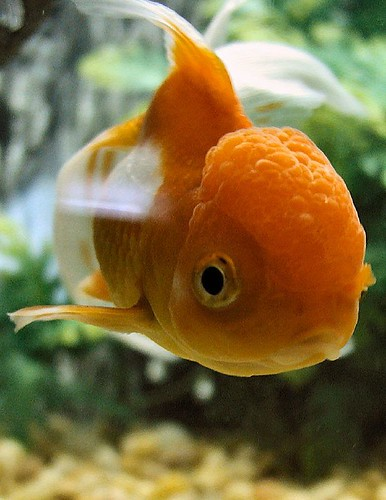Suzuki Gold Fish Tone Picture