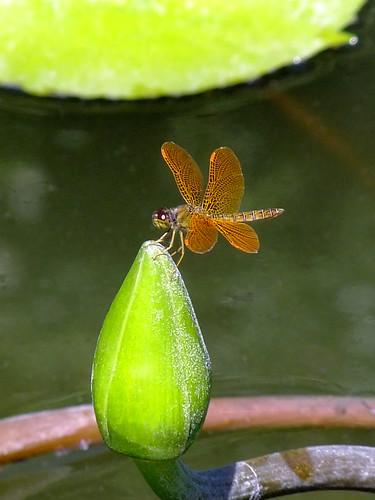 Dragonfly at Puerto Vallarta Botanical Garden