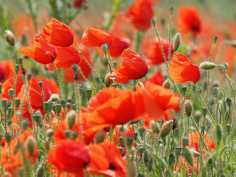 Poppies & The Wind