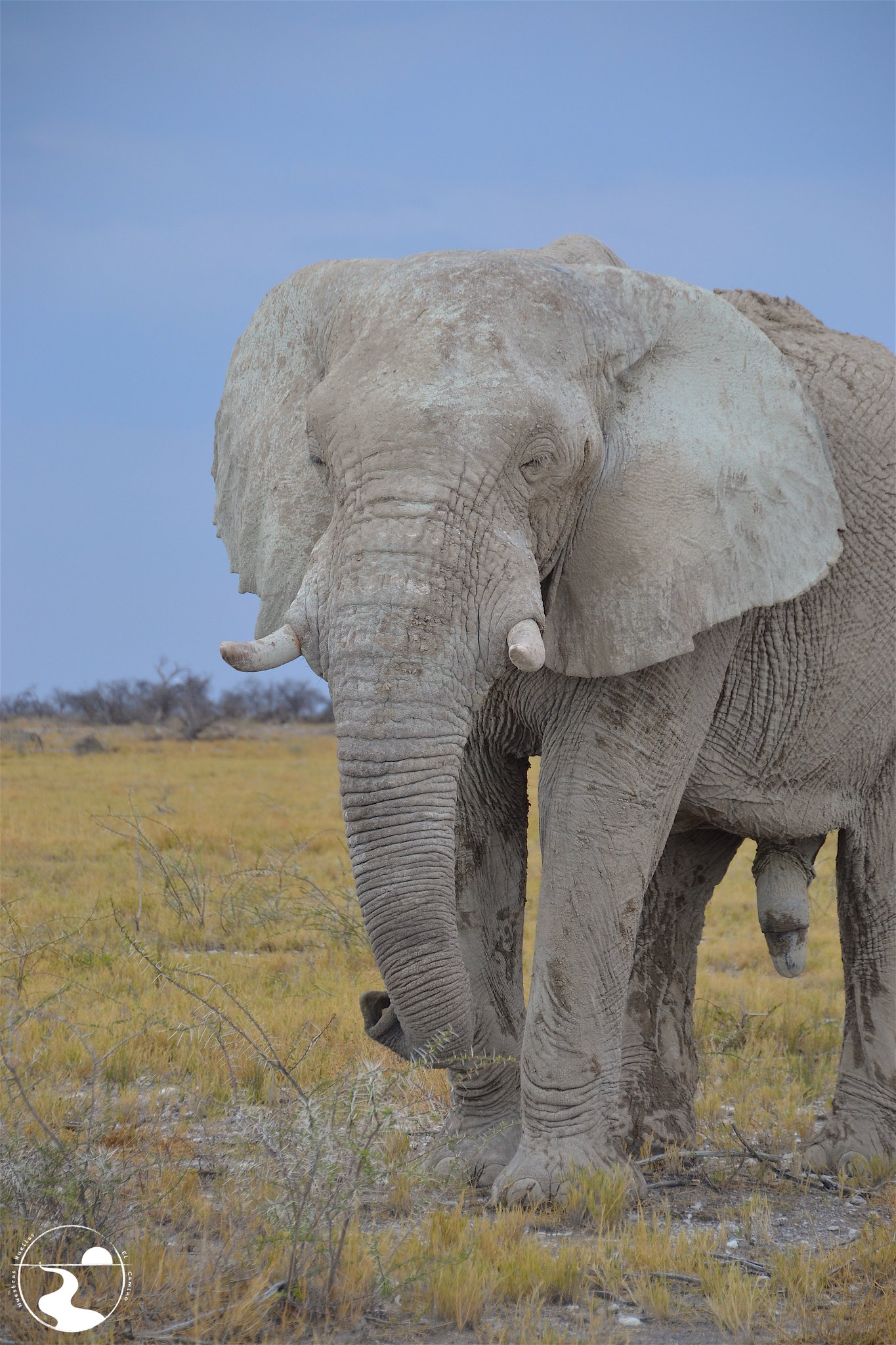 Elefante, Etosha