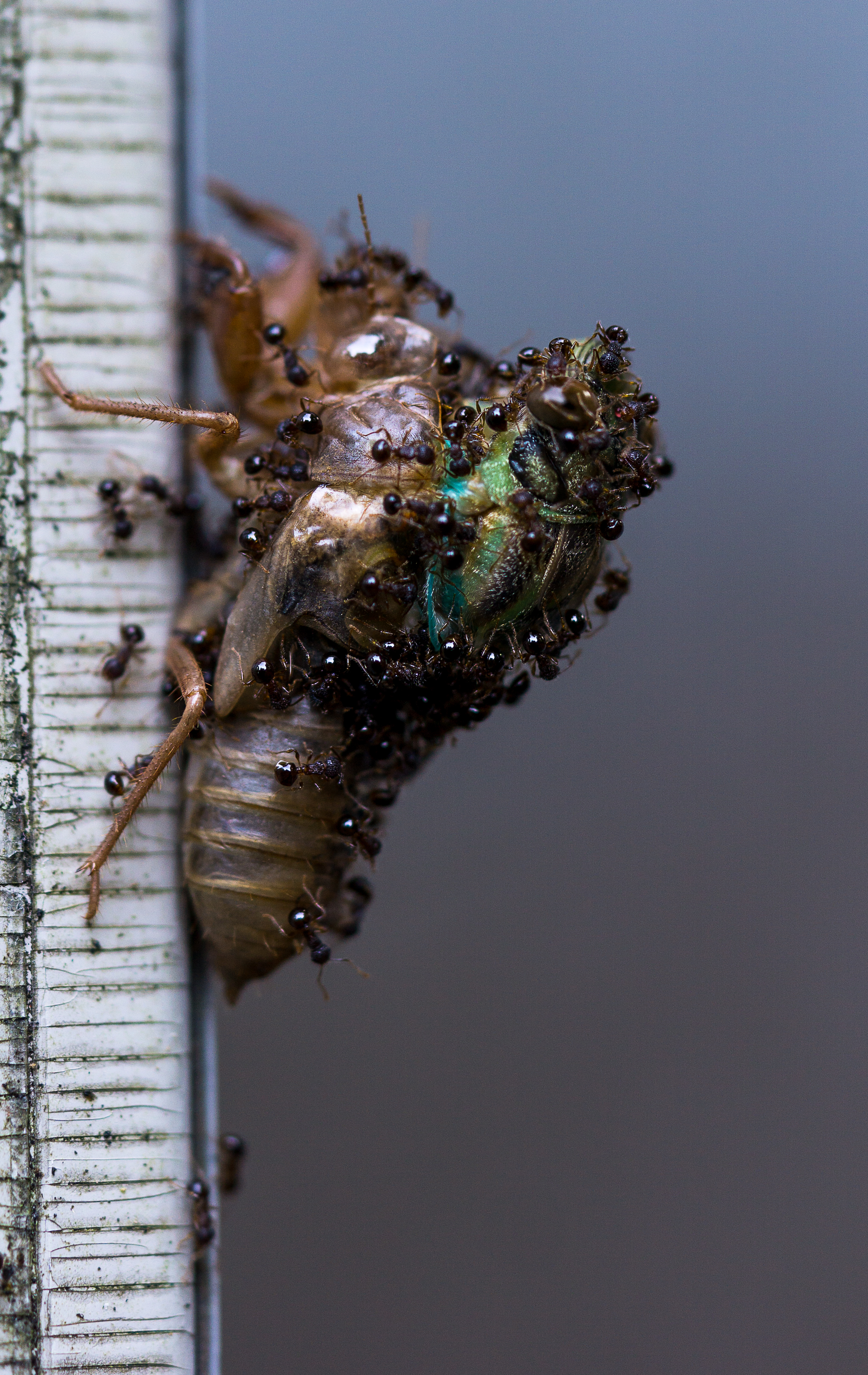 Ants attacking a Cicada [OC] [2632*4167]