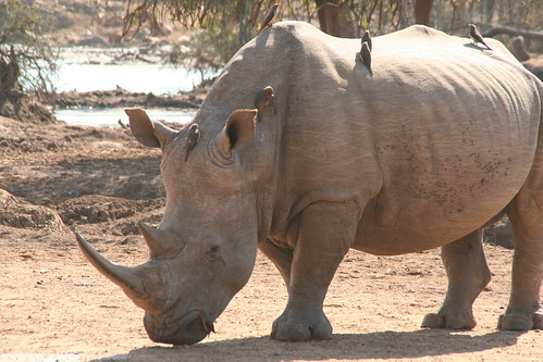 Birds catching a ride on the rhino