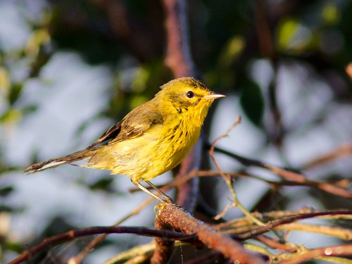 Prairie Warbler all wet 2-20161213