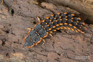 Trilobite beetle larva (Platerodrilus sp.) - DSC_6050