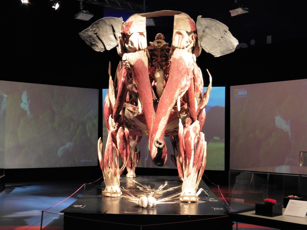Plastination of Elephant