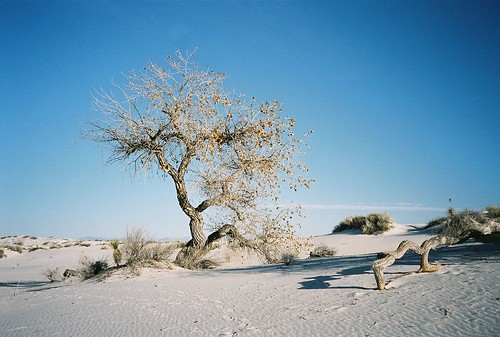 Cottonwood in the Desert | by 82skeletonkey