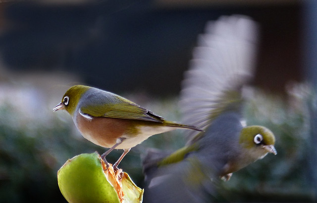 Silvereyes at the feeder.