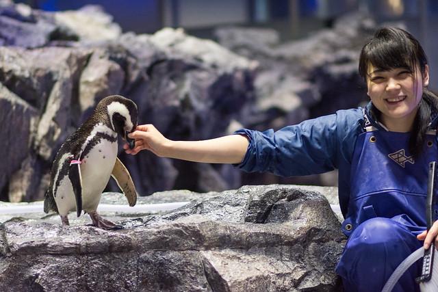 すみだ水族館のペンギン「まつり」と飼育員さんの写真。飼育員さんカメラ目線