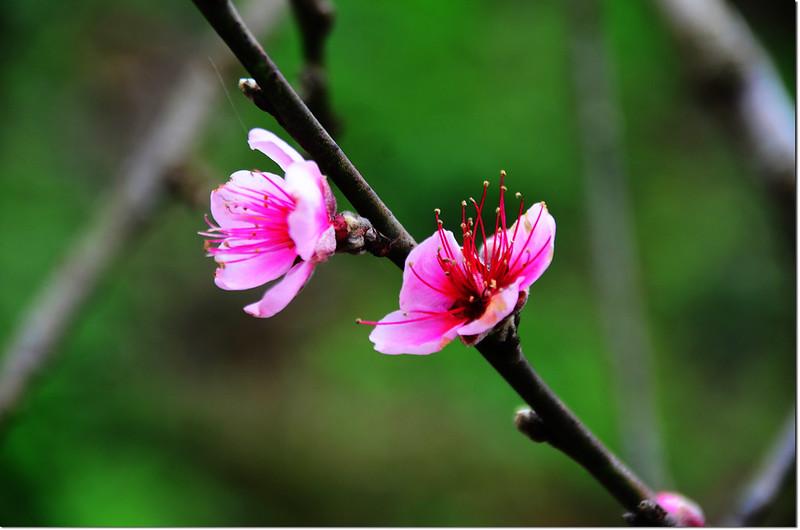 農園桃花 3