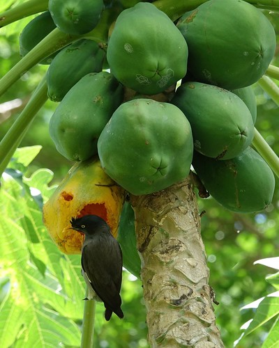 Jungle Myna eating a papaya