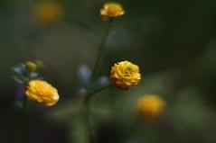 """Ranunculus acris """"multiplex"""""""