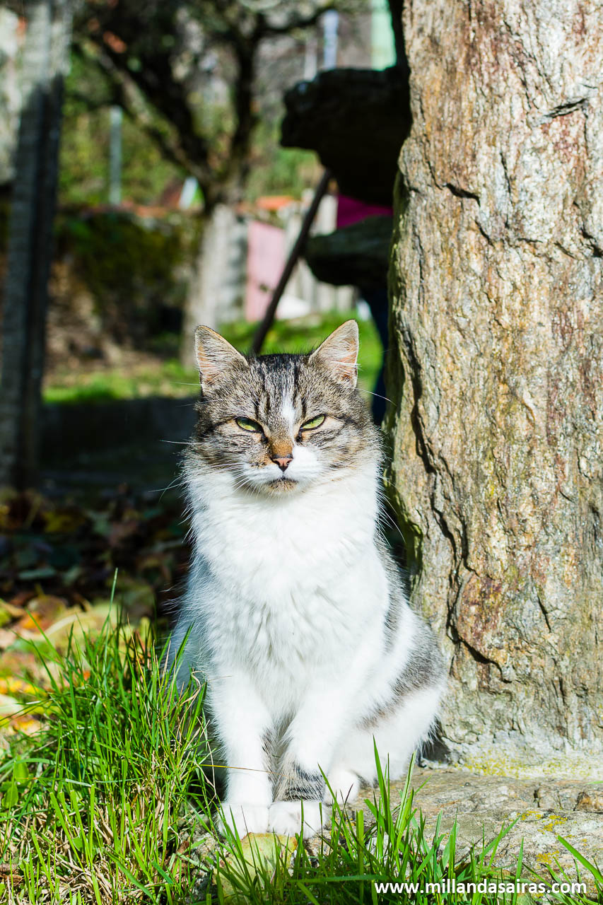Especie autoctona de gato zobrés