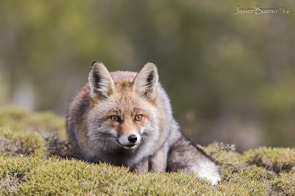 El raposo