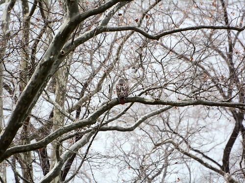 Riverside Red-tail - 0971