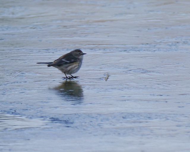 Yellow-rumped Warbler on Ice - 2