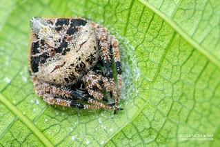 Orb weaver spider (Eriovixia sp.) - DSC_7107