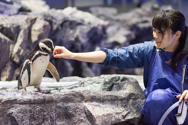 すみだ水族館のペンギン「まつり」と飼育員さんの写真