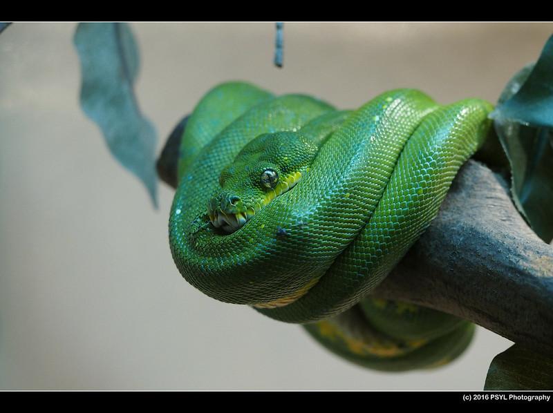 Green tree python (Morelia viridis)