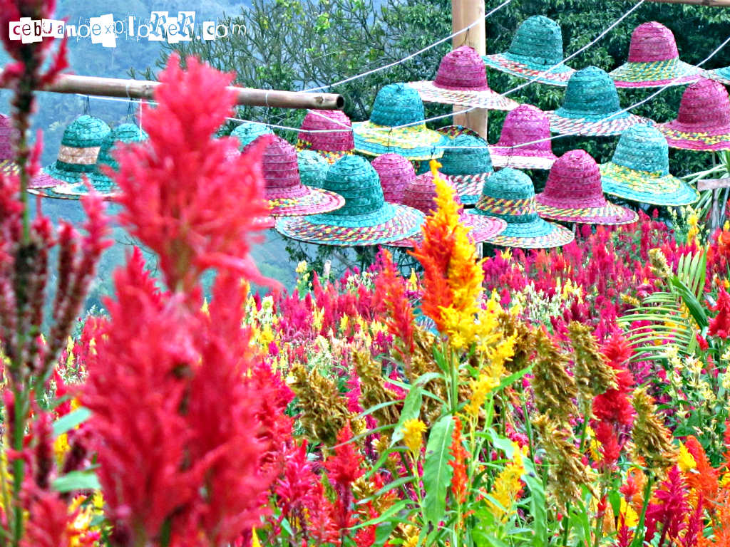 Celosia Flower Farm In Sirao, Cebu » Cebuano Xplorer