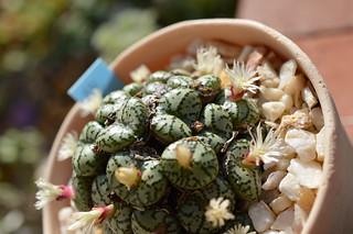 DSC_4686 Conophytum ursprungianum  コノフィツム 藤原阿嬌