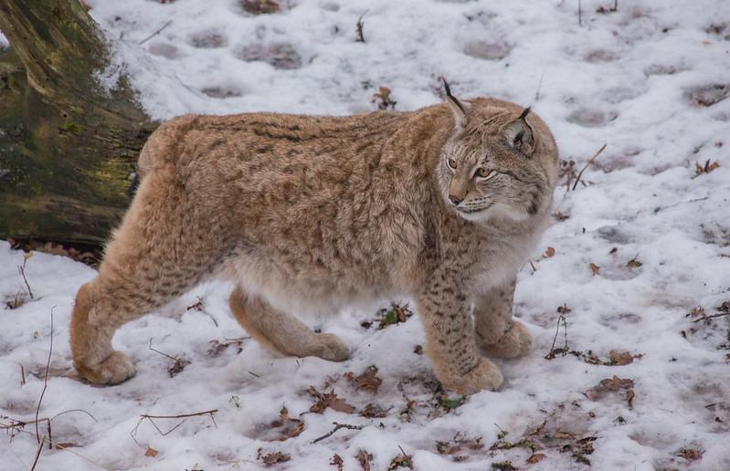 Lynx at Skansen