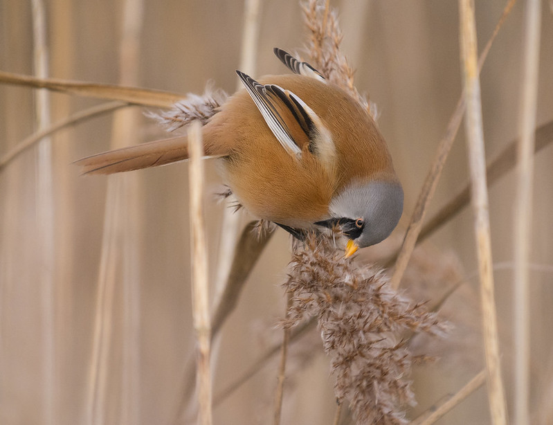 Bearded Tit, Broom GP, 29th December 2016