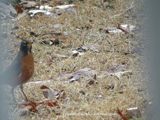 December Robins 2
