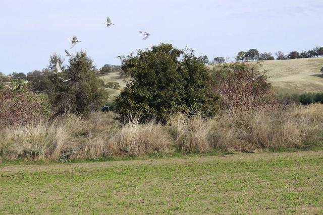 Herons Taking Flight