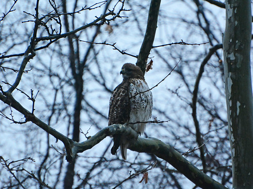Riverside Juvenile Red-tail - 0868